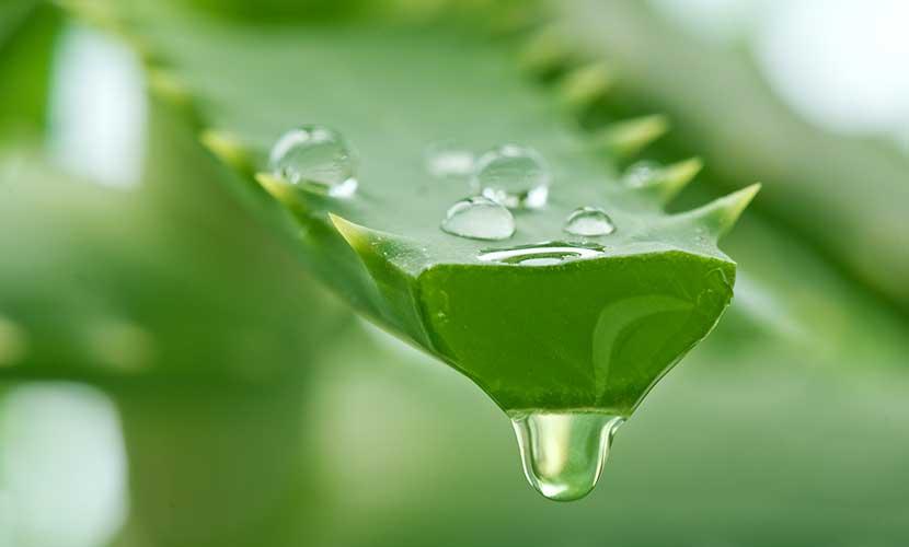 Gli studi rivelano che l'aloe vera può aiutare a ottimizzare la combustione delle calorie