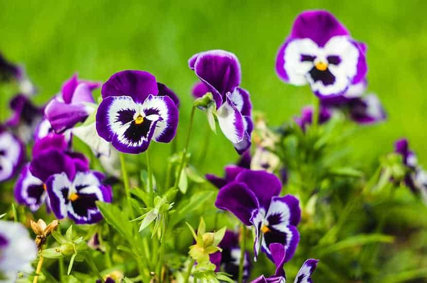 Wild Thought è una pianta con effetti antinfiammatori