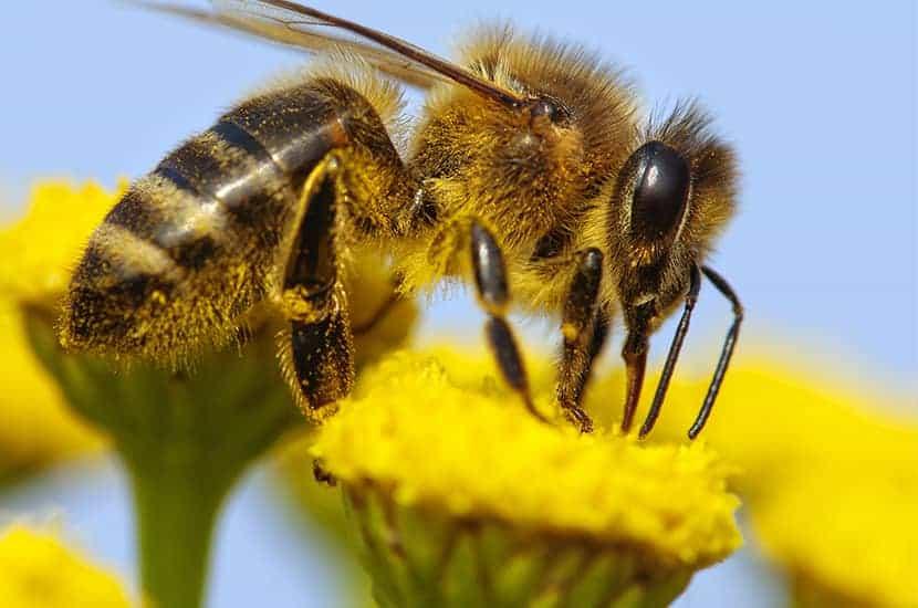 L'apitossina è un derivato del veleno delle api
