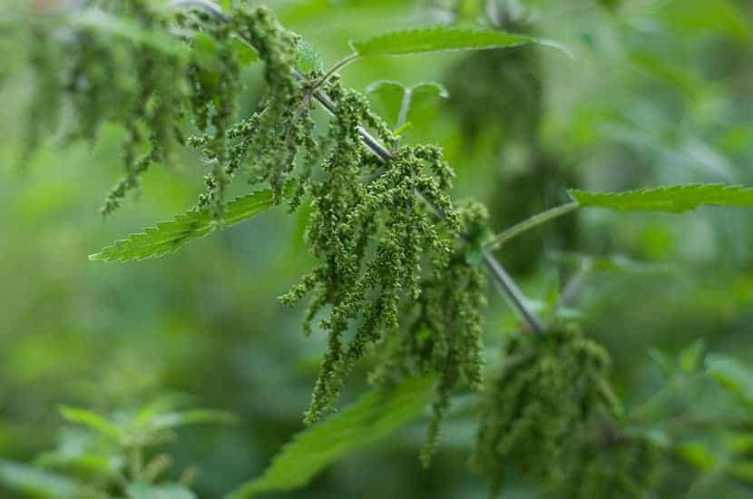 l'estratto di foglie di ortica può migliorare l'aspetto dei brufoli sulla pelle