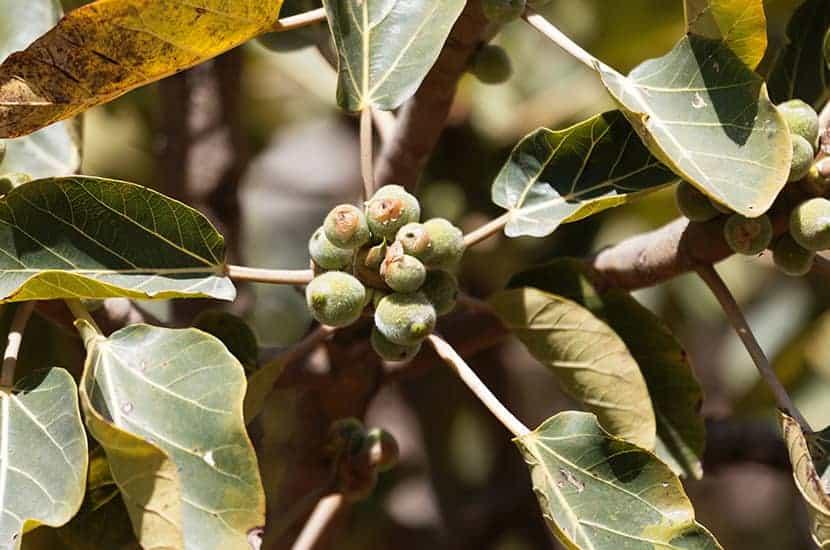 l'estratto di prugna africana è un rimedio usato per il trattamento della prostata